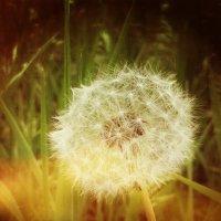 Dandelion :: Ntalia Grey