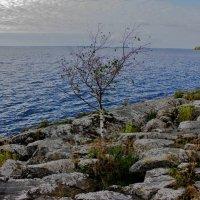 Здесь на камнях растут деревья... :: Зинаида Молчанова