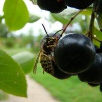 Завтрак осы :: Zoya Ilina