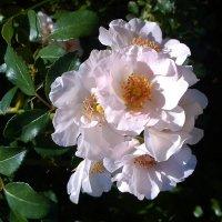 Ветка роз :: Самохвалова Зинаида
