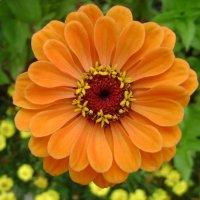 Оранжевый цветочек :: Анатолий