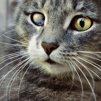Кошка с кератитом :: Ольга Лисьева