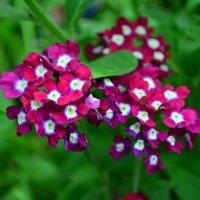 Цветы :: Елена Зенкина
