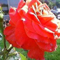 Роза :: Миша Любчик