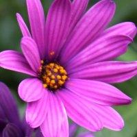 садовый цветок :: Людмила