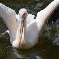 Pelican :: Татьяна Кретова