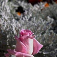 Роза :: Елена Савельева