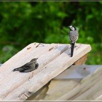 трясогузки :: linnud