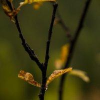 Капля осеннего дождя :: Мария Кобылина
