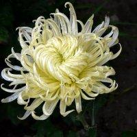 Кудрявая хризантема :: Ольга Голубева