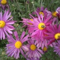 Цветы осени - хризантемы :: BoxerMak Mak