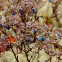 ягода:  Голубика :: Аркадий Иваковский