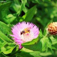 Пчела :: Анастасия Соколова