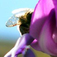 пчела :: Михаил Bobikov