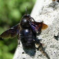 Пчела плотник :: Елена Шемякина