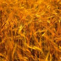 Пшеница :: Юлия Нагибович