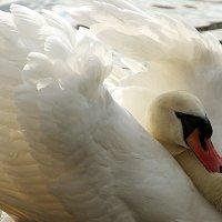 То не лебедь,- то царевна .... :: Alexander Andronik