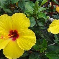 Гибискус - цветок прекрасных женщин :: Елена Павлова (Смолова)