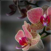 Орхидея :: Дмитрий Лебедихин