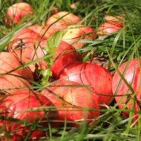 Лежат в траве, сверкая радугой :: Татьяна Ломтева