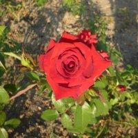 Аленький цветочек :: Кристина Фотограф