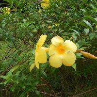Алламанда желтая :: Елена Павлова (Смолова)