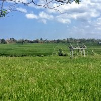 Бали.Рисовые поля. :: Александр