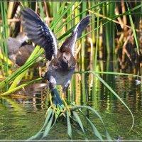 камышница балансирует :: linnud