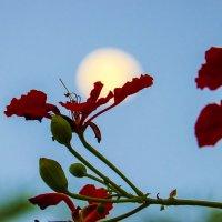 Делоникс и луна :: Александр Деревяшкин