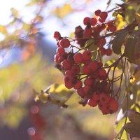 Рябины грозди спелые... :: Alhna ---