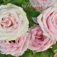 розовые розы :: Аруана Абаева