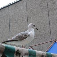 Чайка в городе.. :: zoja