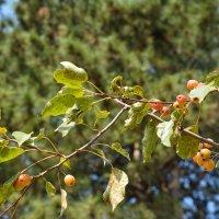 Райские яблочки :: Николай Глазьев