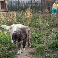 Чингиз - кавказская овчарка :: Анатолий Тимофеев