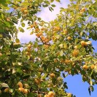 Яблочные полёты :: Татьяна Ломтева