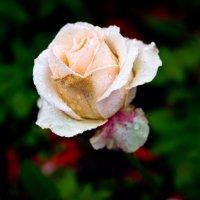 Роза :: Андрей Хистяев
