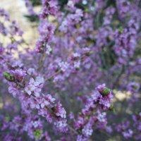Волчник обыкновенный (волчье лыко) – Daphne mezereum L.  Семейство волчниковые – Thymelaeceae :: Елена Павлова (Смолова)