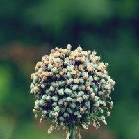 цветы лука :: Мария Чуева