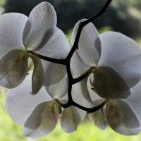Орхидея. :: Любовь Анищенко