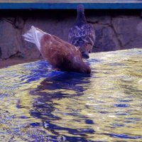 Суровые голуби Новосибирского Академгородка :)) :: Lady Etoile