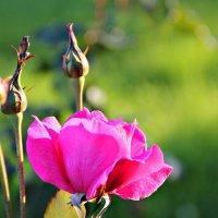 Роза :: Полина