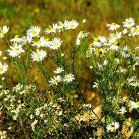 полевые цветы :: Михаил Жуковский