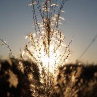 Колосок под солнцем :: Дмитрий Проскурин