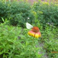 Бабочка :: Елена Овчинникова