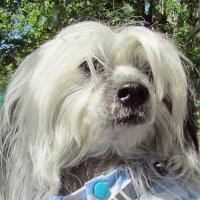 Китайская хохлатая собака. :: Ирина
