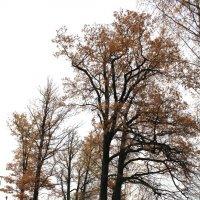 Осенний клён :: Наталья Золотых-Сибирская