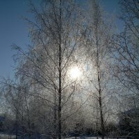 Солнце в березках :: Олег Романенко