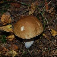 Белый гриб :: Михаил Вандич