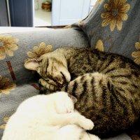 кошки :: Ольга Демченко