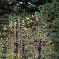 лесной павлин :: Евгений Фролов